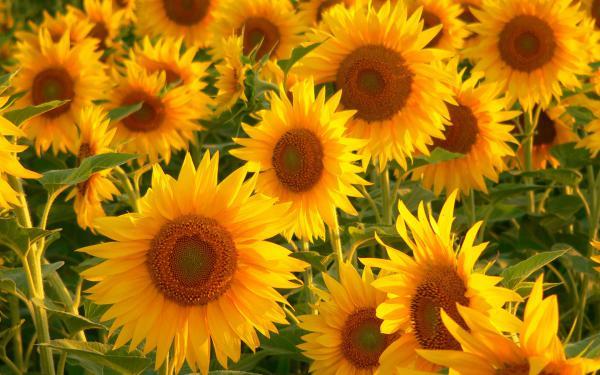 Výsledok vyhľadávania obrázkov pre dopyt sunflower hd