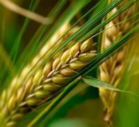 понятное настроение курсовая по растениеводству яровая пшеница  Растениеводство и цветоводство Куплю Днепропетровск Сельское