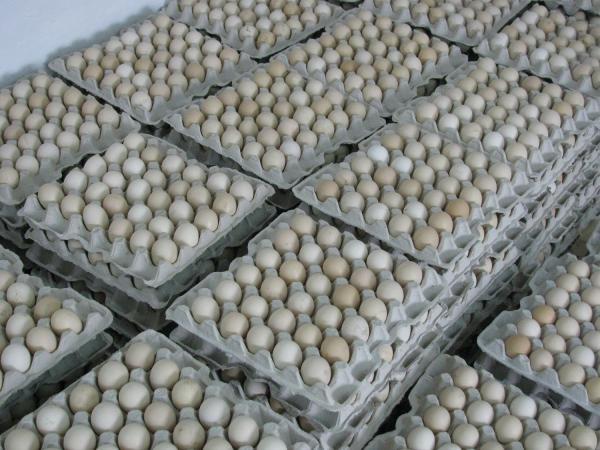 Інкубаційні яйця бройлер Ross-308
