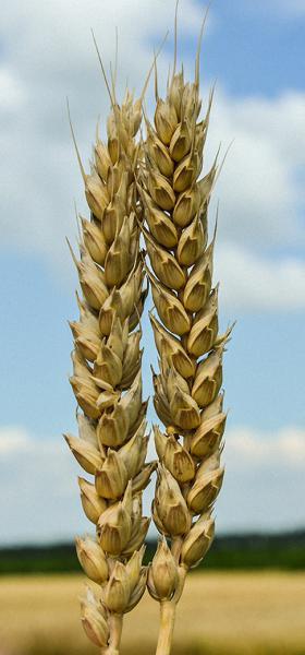 Семена пшеницы Литановка