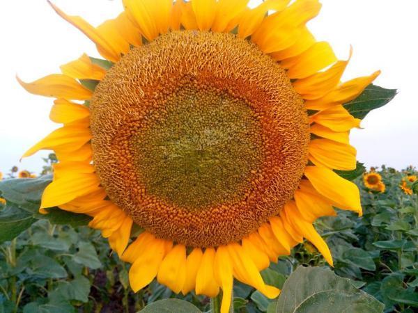 Подсолнечник Гибрид посевной материал Аракар под евролайтинг 2020 г. урожая