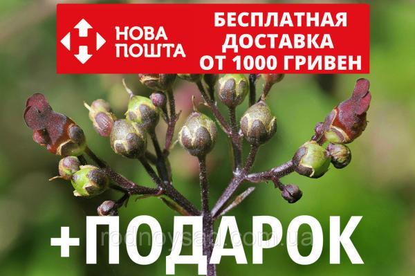 Норичник семена (20 шт) узловатый или шишковатый Scrophularia nodosa