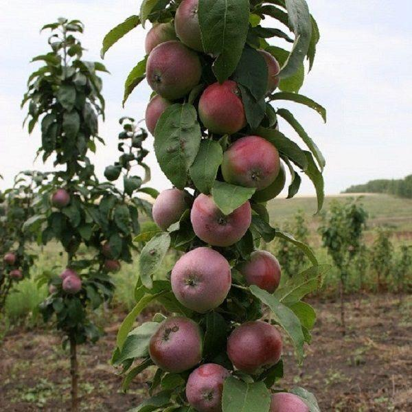 Саженцы яблони Валюта колоновидной