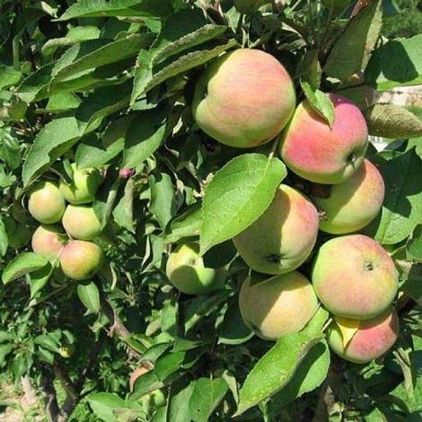 Колоновидная яблоня Трайденг