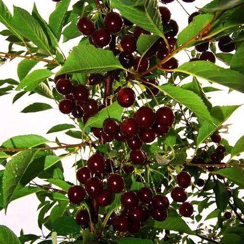 Саженцы колоновидной вишни Восторг