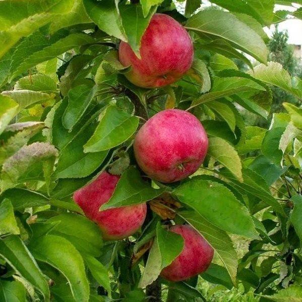 Колоновидная яблоня Арбат