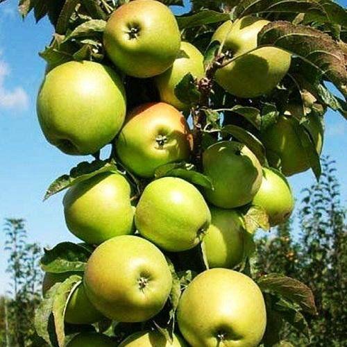 Саженцы колоновидной яблони Президент