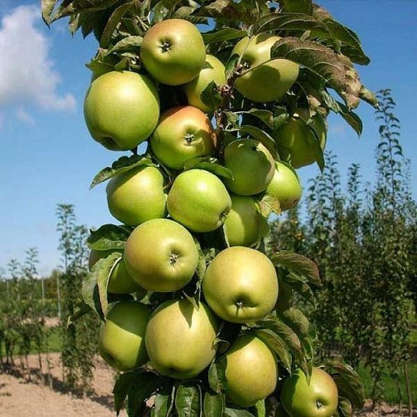 Саженцы яблони Болеро (созревание-середина Сентября), колоновидная