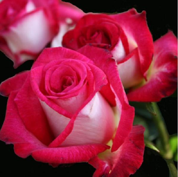 Саженцы чайно-гибридной Розы Утро Парижа
