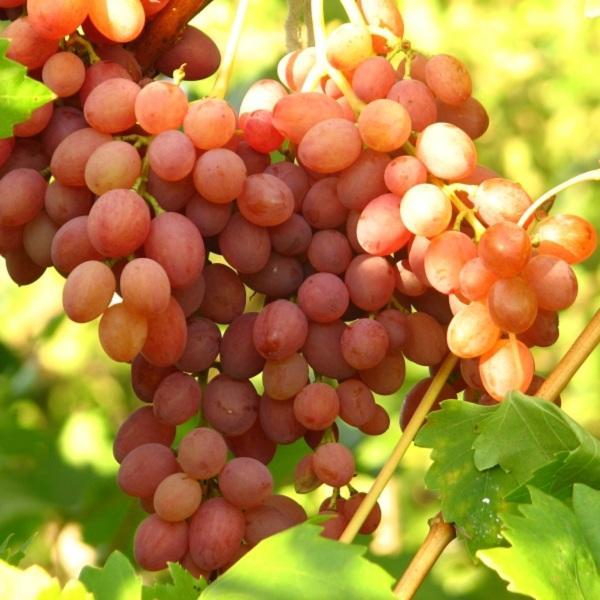 Саженцы винограда Киш Мыш Лучистый (бескосточковый)