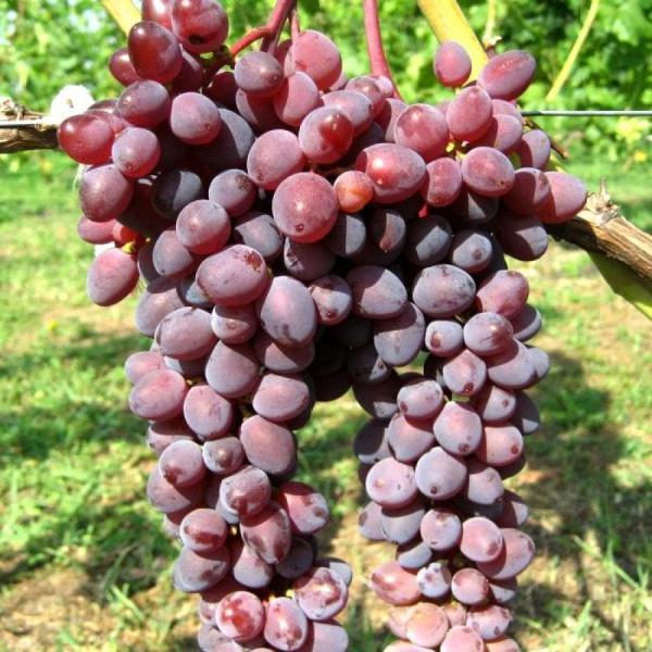 Саженцы винограда Киш Миш Запорожский (бескосточковый)