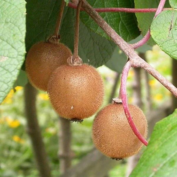 Саженцы Киви Аллисон, крупноплодный