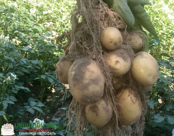 Элитный семенной картофель Голландия, 1Р