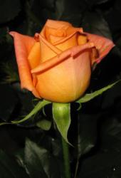 Саженцы роз Eldorado