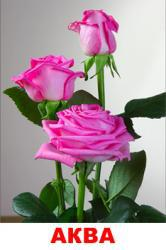 Саженцы роз Аква