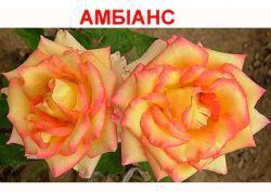Саженцы роз Амбианс