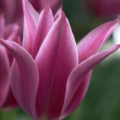 Луковицы тюльпанов Maytime
