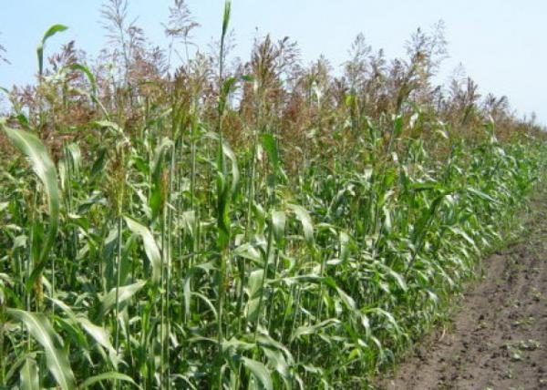 Суданська трава Одеська 221 МВ Р 1