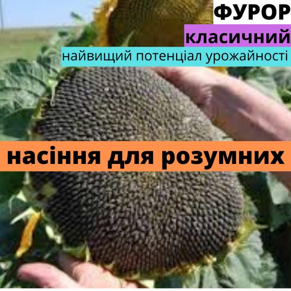 Семена подсолнечника гибрид Фурор F1