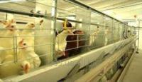 Клеточное оборудования для выращивания родительского стада кур-несушек