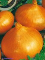 Семена лука репчатого Луганский