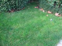 Полевица побегоносная для газона