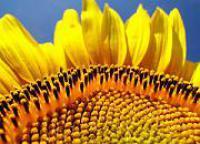 Семена подсолнечника Евралис ЕС Артимис Clearfield
