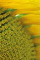 Семена подсолнечника Маисадур МАС 83.Р, Maisadour MAS 83.R