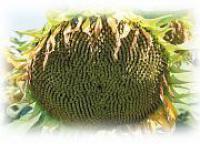 Семена подсолнечника Евралис ЕС Арамис Clearfield