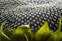 Семена подсолнечника Zerera F -236 Канадский трансгенный гибрид, элита, классика