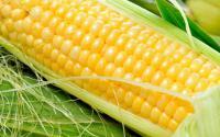 Семена кукурузы Злагода МВ НОВЫЙ ин-т им. Юрьева ФАО 310