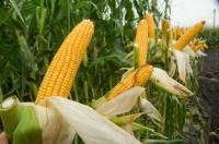 Семена кукурузы Серпанок МВ ин-т им. Юрьева FAO 270