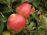 Саженцы яблони Лиголь