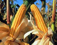 Семена кукурузы НС-2060 Нови Сад (Сербия)