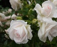 Саженцы роз Почвопокровные