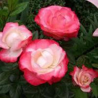 Саженцы розы Ностальгия