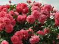 Саженцы розы Розариум