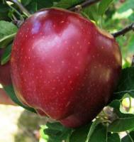 Саженцы яблони Топ Ред