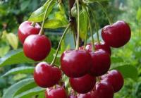 Саженцы вишни Облачинская