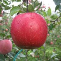 Саженцы яблони Фуджи Кику