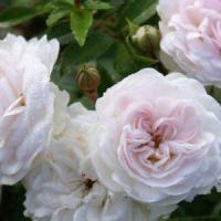 Саженцы розы Пикси