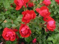 Саженцы розы Колосаль