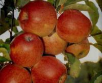 Саженцы яблони Джонаголд Декоста