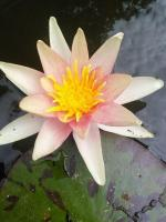Нимфея (водная лилия), карликовая, розовая с белым краем лепестка