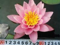 Нимфея розовая (водная лилия), сорт Розенимфе