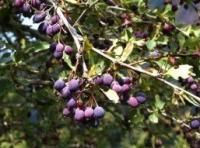 Барбарис съедобный шароплодный, синий 2-х летние саженцы