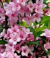 Вейгела розовая, 2-х летние саженцы