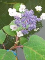 Гортензия голубая Макрофилла, 2-х летние саженцы