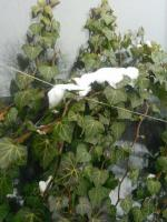 Плющ - вечнозеленый, морозоустойчивый кустарник, 2-х летние саженцы