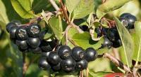 Арония, черноплодная рябина, 3-х летние саженцы
